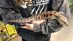 BLUE TONGUE SKINK, NORTHERN - CB